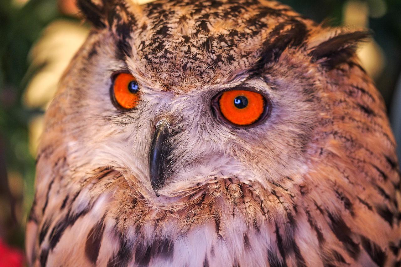 Close-Up Of An Alert Owl