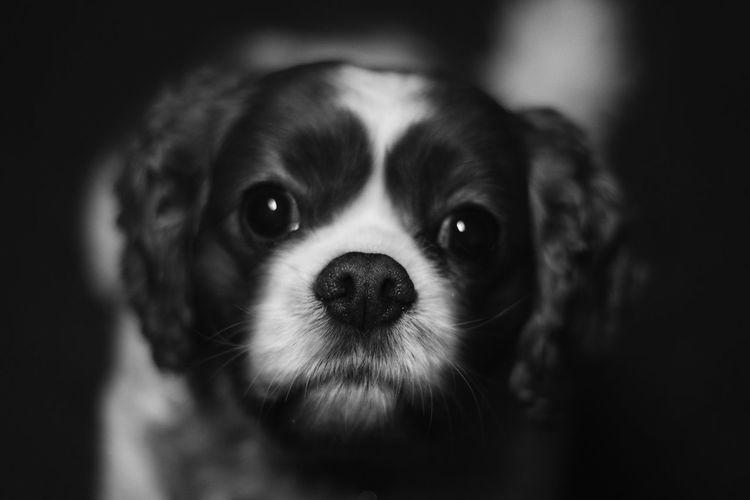 Studio mascot. Cavalier King Charles Spaniel Dog Mascot Pets Blackandwhite