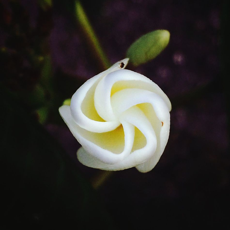 Almost Check This Out Hello World Taking Photos Enjoying Life Beauty In Nature Enjoying Nature Enjoying The Sights Nature Eyemphotography Flora Frangipani Plumeria Blossom Blooming White Tropical The Great Outdoors With Adobe Nature's Diversities
