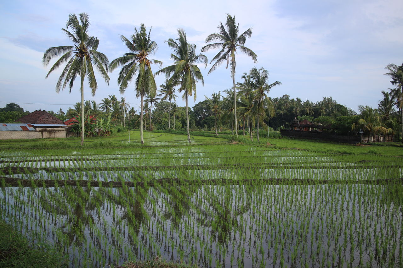 Palm Tree Agriculture Tree Growth Rural Scene Nature Landscape Scenics Rice Paddy Outdoors Cloud - Sky Sky No People Day Beauty In Nature Beautiful Bali Ubud Holiday Nature Reserve Nature Water Vacations