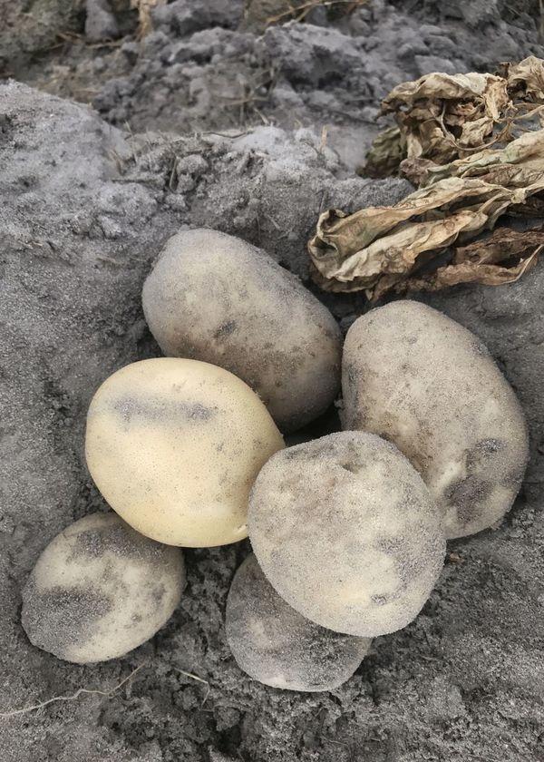 White potatoes ready for harvest. Potatoes White Potatoes Sand Soil Close-up Fresh Crop Production Potato Production Agriculture Farm Life Commercial Agriculture Harvest Sand Soil Farming LaChipper