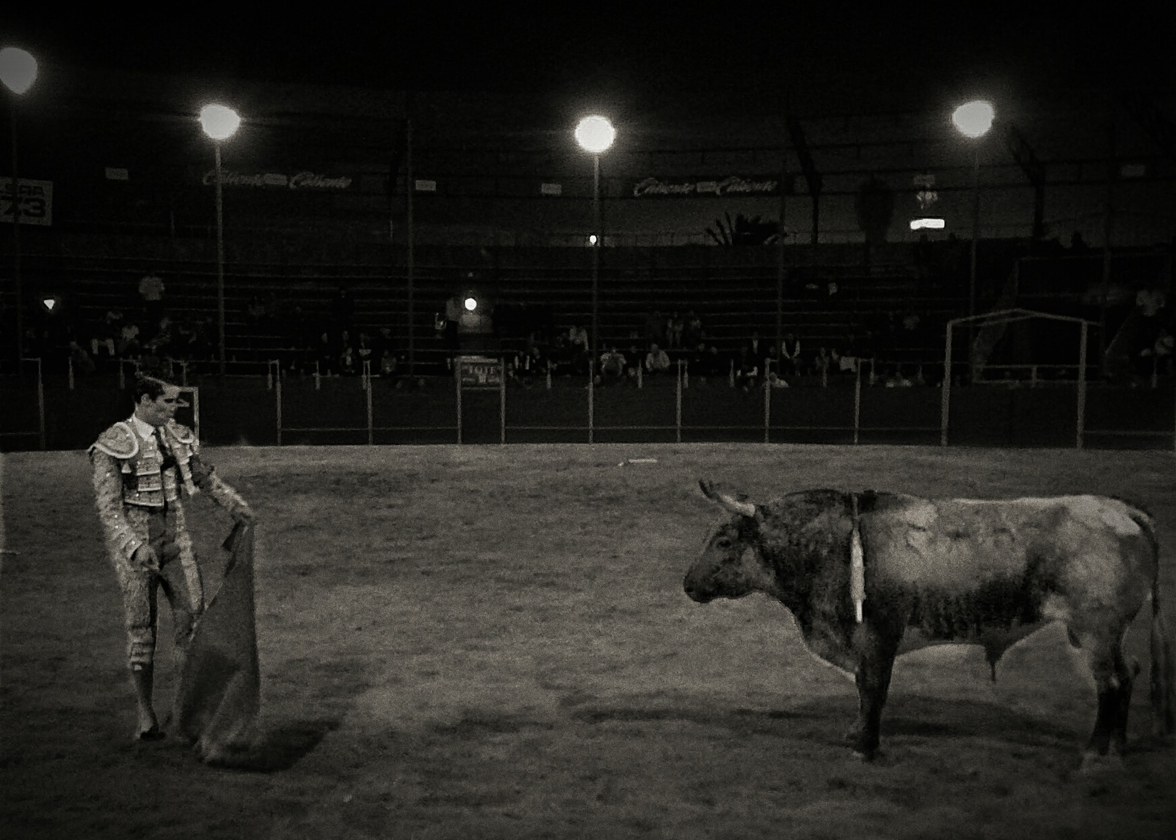 night, mammal, illuminated, livestock, cow, cattle, domestic animals, animal themes, outdoors, real people, nature