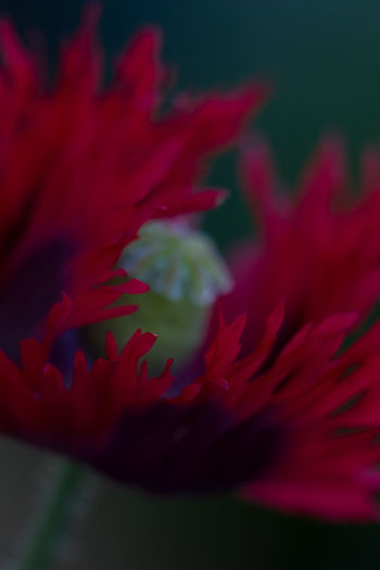 Beauty In Nature Close-up Flower Flower Head Fragility Freshness Garden Garden Photography Spiderwolrd Spider Macro Spider Nature No People Outdoors Papaver Petals Plant Poppy Red