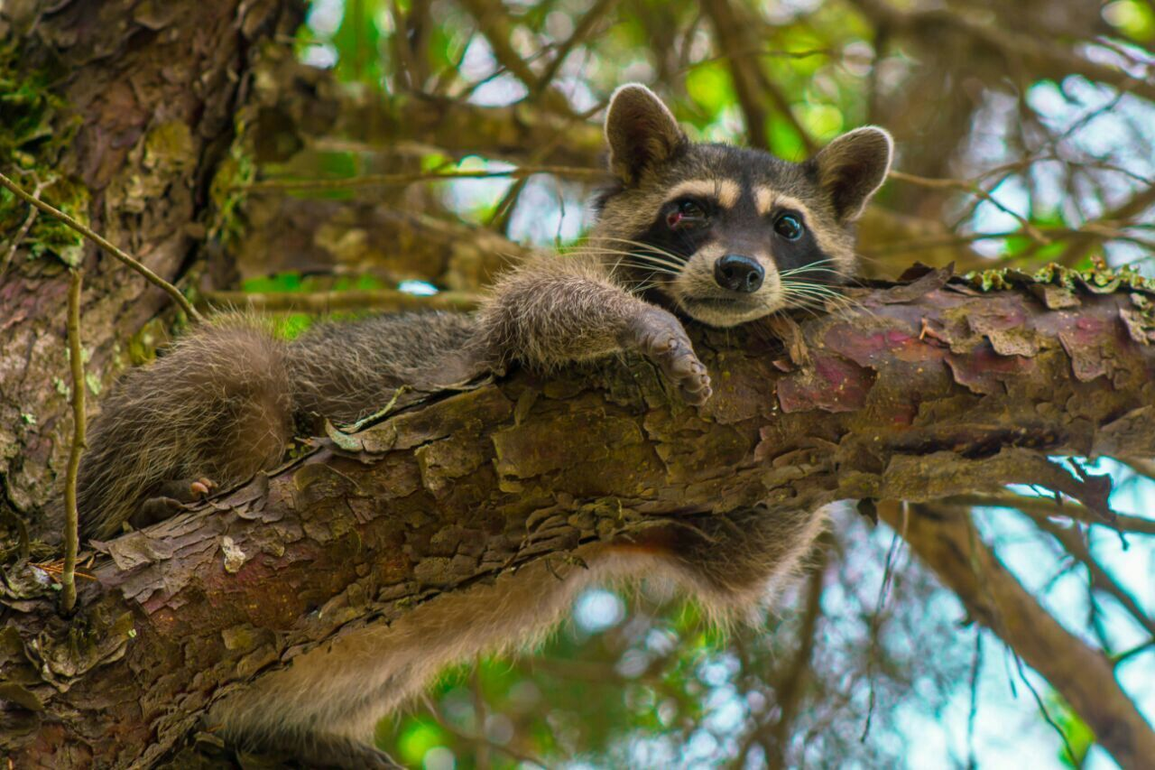 Beautiful stock photos of raccoon, Animal, Animal Themes, Close-Up, Day