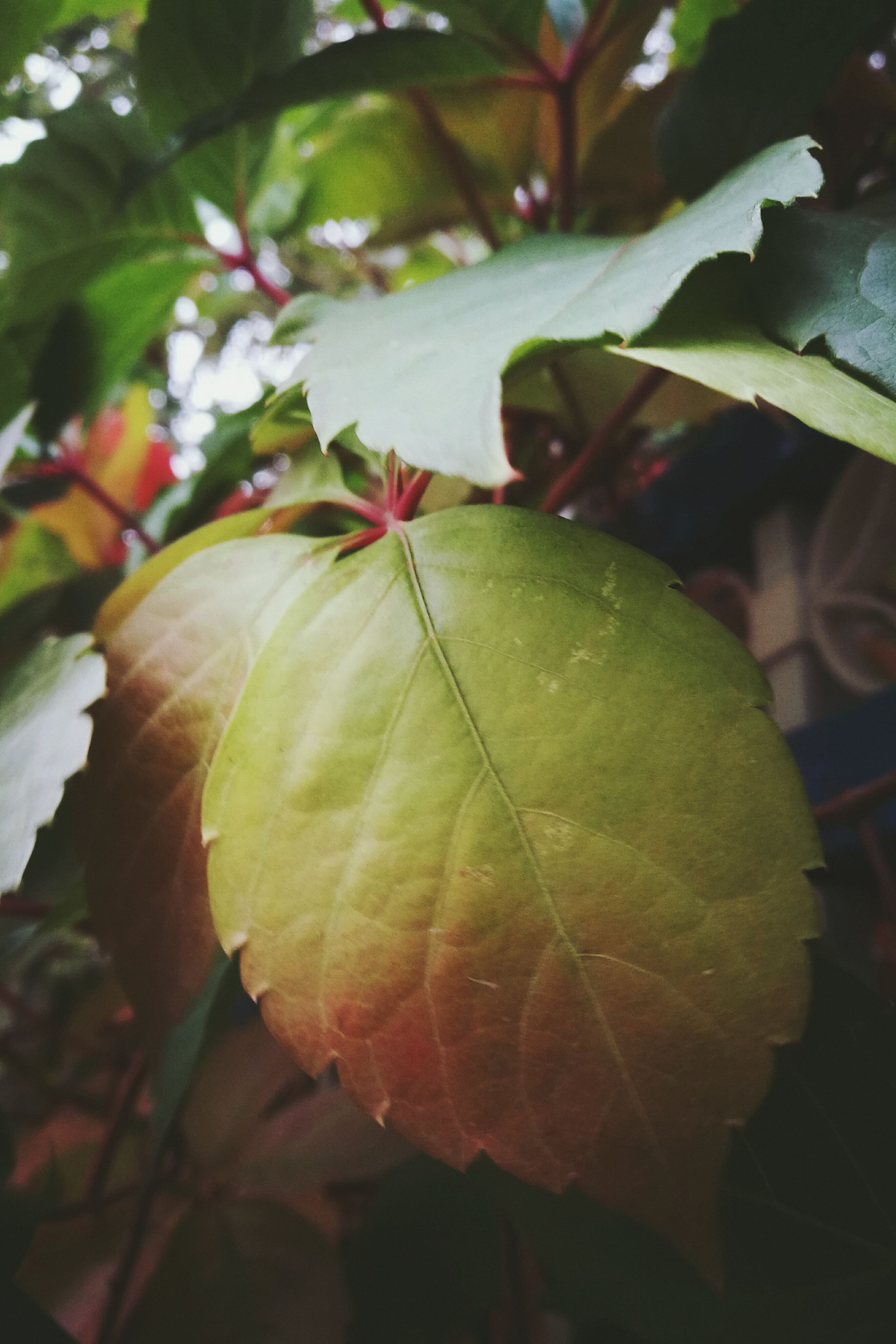 leaf, growth, close-up, leaf vein, nature, beauty in nature, focus on foreground, leaves, green color, day, outdoors, botany, fragility, green, freshness
