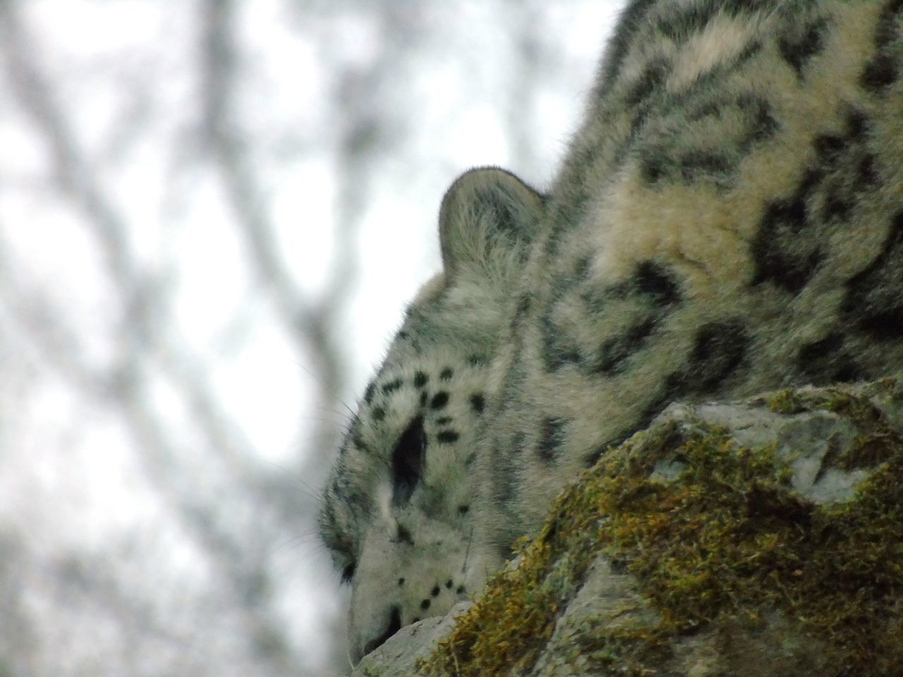 Snow Leopard resting on the rocks Uk Eye Em Scotland Scotland Kincraig Wildlife Park Big Cats Cats Of EyeEm Big Cat Cat Fur Wildlife Photography Beautiful Animals  Snow Leopard Snow Leopards >  One Animal Animals In The Wild Animal Wildlife Leopard Nature Close-up Mammal Beauty In Nature Animals In The Wild Animal Themes Backgrounds