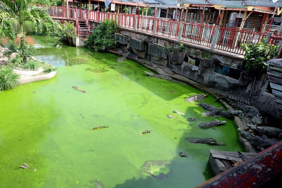 Swimming with crocodiles Thailand Samut Prakan Crocodiles Greenerthebetter Adventure Club Color Of Life
