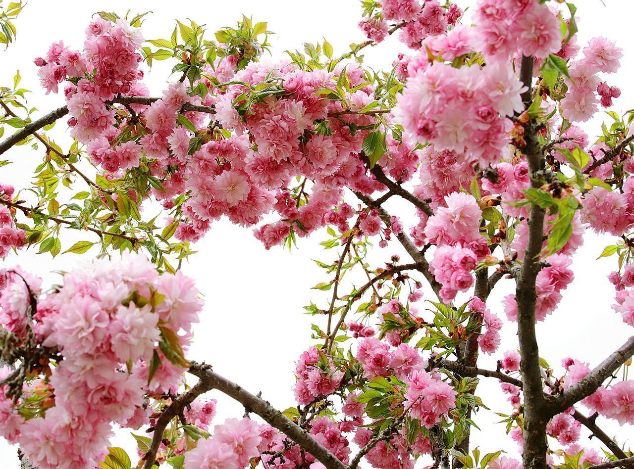Sacura Flowers Sochi Russia Krasnaya Polyana Gorkygorod