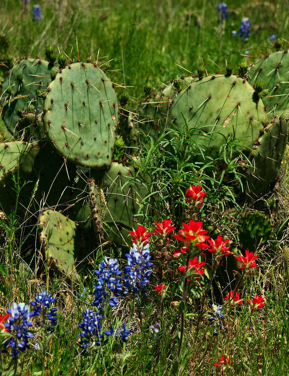 Texas Hill Country in the spring with bluebonnets, Indian paint brush and cacuti blooming. Bluebonnets Cactus Cactus Flower Hill Country Spring Spring Flowers Springtime Wildflower Wildflowers