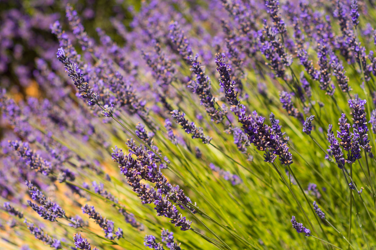Lavender close-up Aromatherapy Beauty Beauty In Nature Close-up Contrast Field Flower Fragility France Freshness FROM THE ABOVE Full Frame Green Lavande Lavender Lavender Field Nature No People Outdoors Perfume Plant Provence Purple Scented Summer