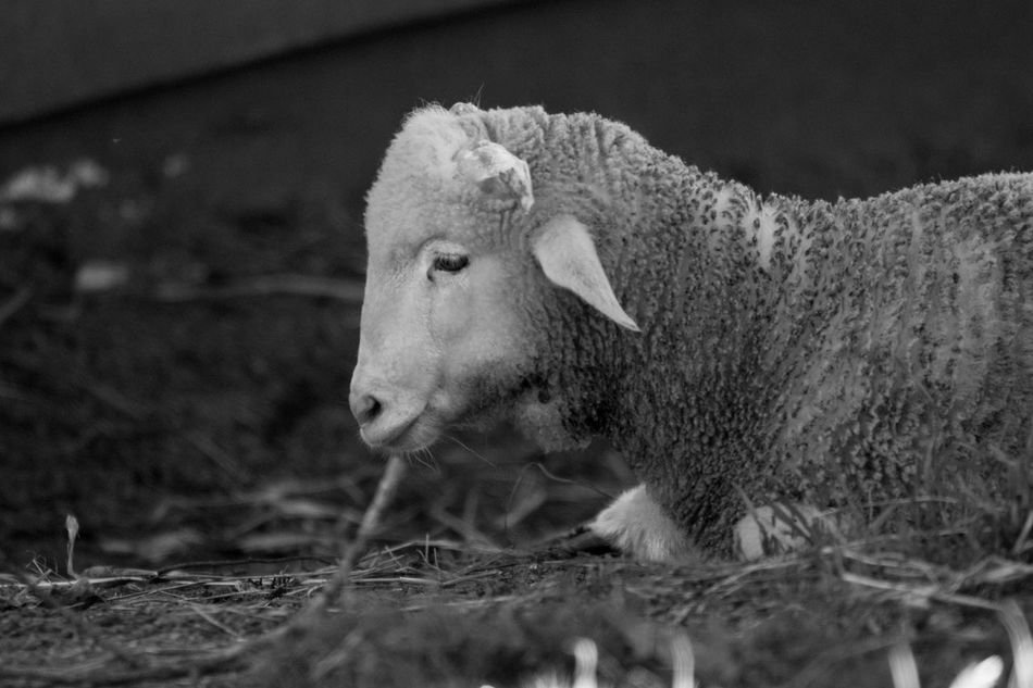 Lamb Farm Animals Animals Animal Themes Close-up Black & White Black And White Black And White Photography Blackandwhite Hadshot Farm Life Farm Blackandwhite Photography Bnw Eye4photography  EyeEm EyeEm Best Shots EyeEm Bnw EyeEmBestPics Monochrome EyeEm Gallery Taking Photos Portugal
