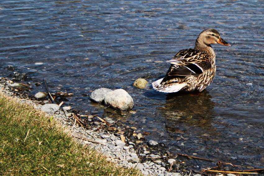Südtirol Animal Themes Animals In The Wild April 2015 Bird Day Duck Italy Lake Nature No People One Animal Outdoors Vinschgauer Oberland Water