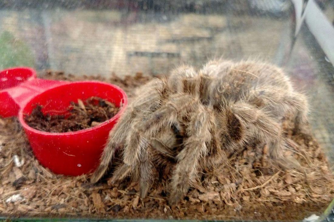 Cootie Spider Hairy  Hairy Legs  Tarantula Creepy Crawlies Not Your Average Pet Pets Corner Creep Crawlers Creepy Crawly Weird Pets Creepy Pets
