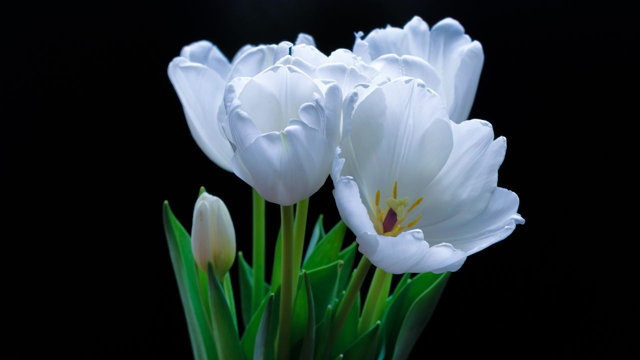 Flower Petal Flower Head Fragility Beauty In Nature White Color Nature Growth Freshness Black Background Close-up No People Plant Blooming Day Iris - Plant Outdoors
