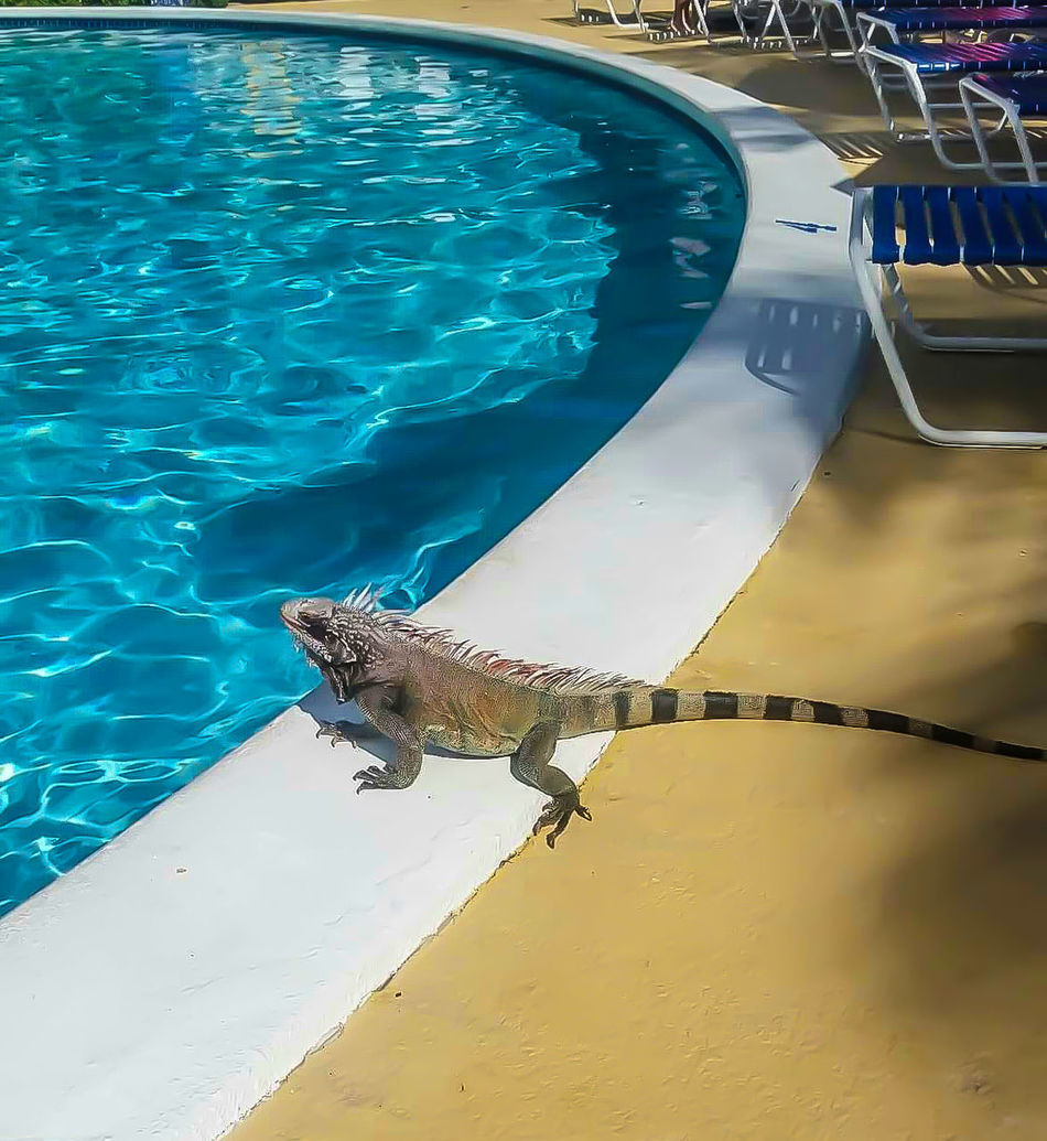 Swimming Pool Swimming Outdoors Water Nature The Natural World No People Beauty In Nature Mammal Sea Life Day Lizard Outdoor Activities Reptiles Big Lizard Aguanta Enjoying The Water Sunning Funny Anımals Vacation