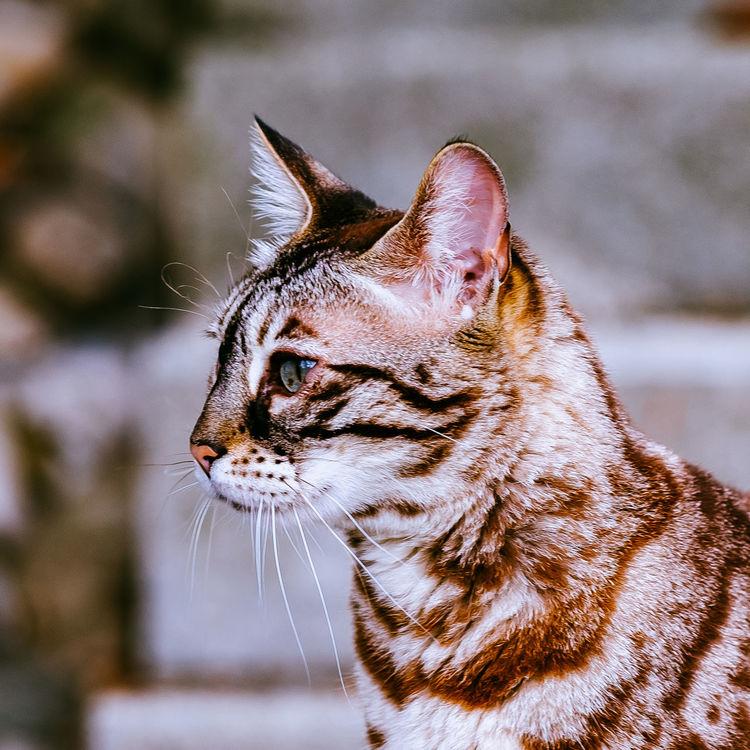 Bengal Bengal Cat Bengalcat  Bengalkatze Cat Cat Lovers Cats Cat♡ Katzen