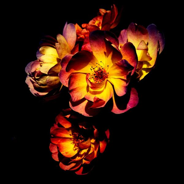 Rosales ... Flower Petal Black Background Beauty In Nature Flower Head Fragility Nature Yellow Beauty Freshness Outdoors Red Yellow Flowers Summer Rose Petals Pastel Rose Rose - Flower Light And Shadow Dual Color