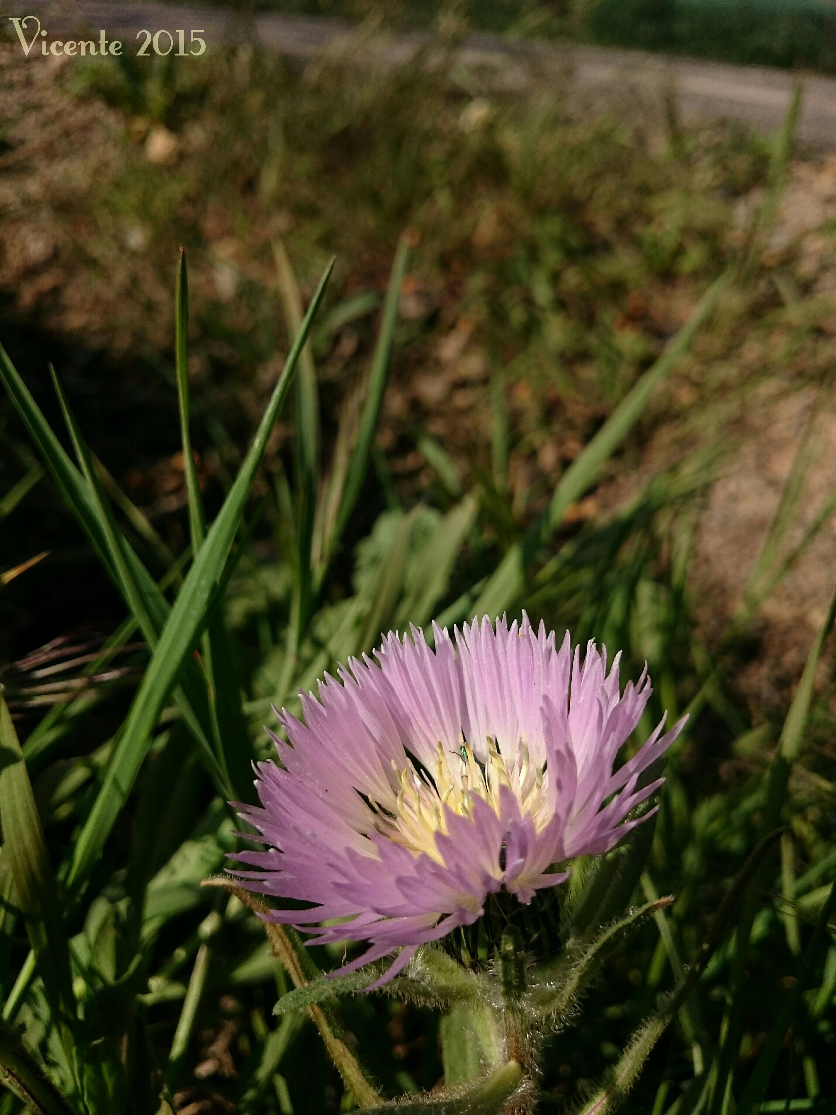 flower, freshness, fragility, petal, purple, growth, flower head, beauty in nature, blooming, nature, close-up, plant, pink color, focus on foreground, single flower, field, in bloom, blossom, outdoors, day