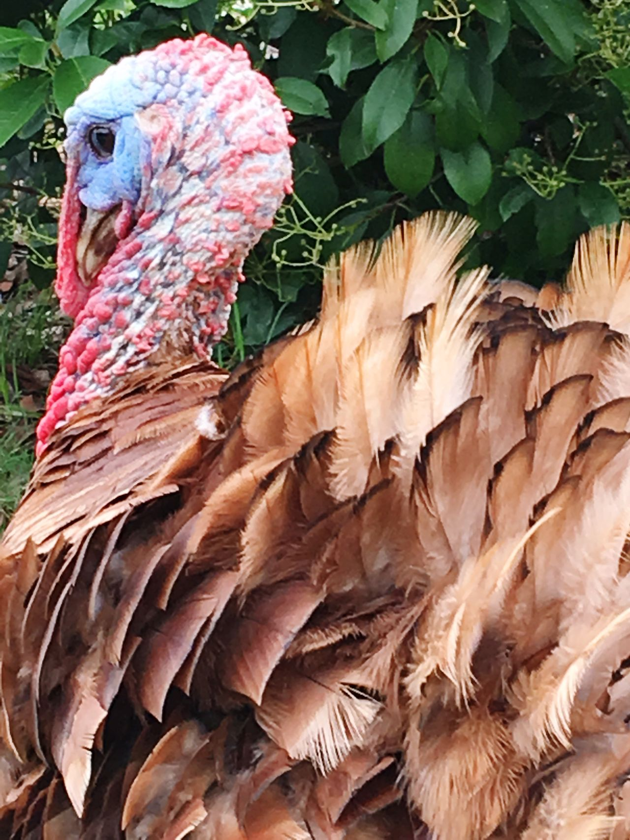 Turkey Animal Themes Bird Close-up One Animal Animal Head  Nature Outdoors Day Beak Zoology Beauty In Nature Pink Color Red Male Animal No People Multi Colored Green Color Farm Animals Farm Country Tom