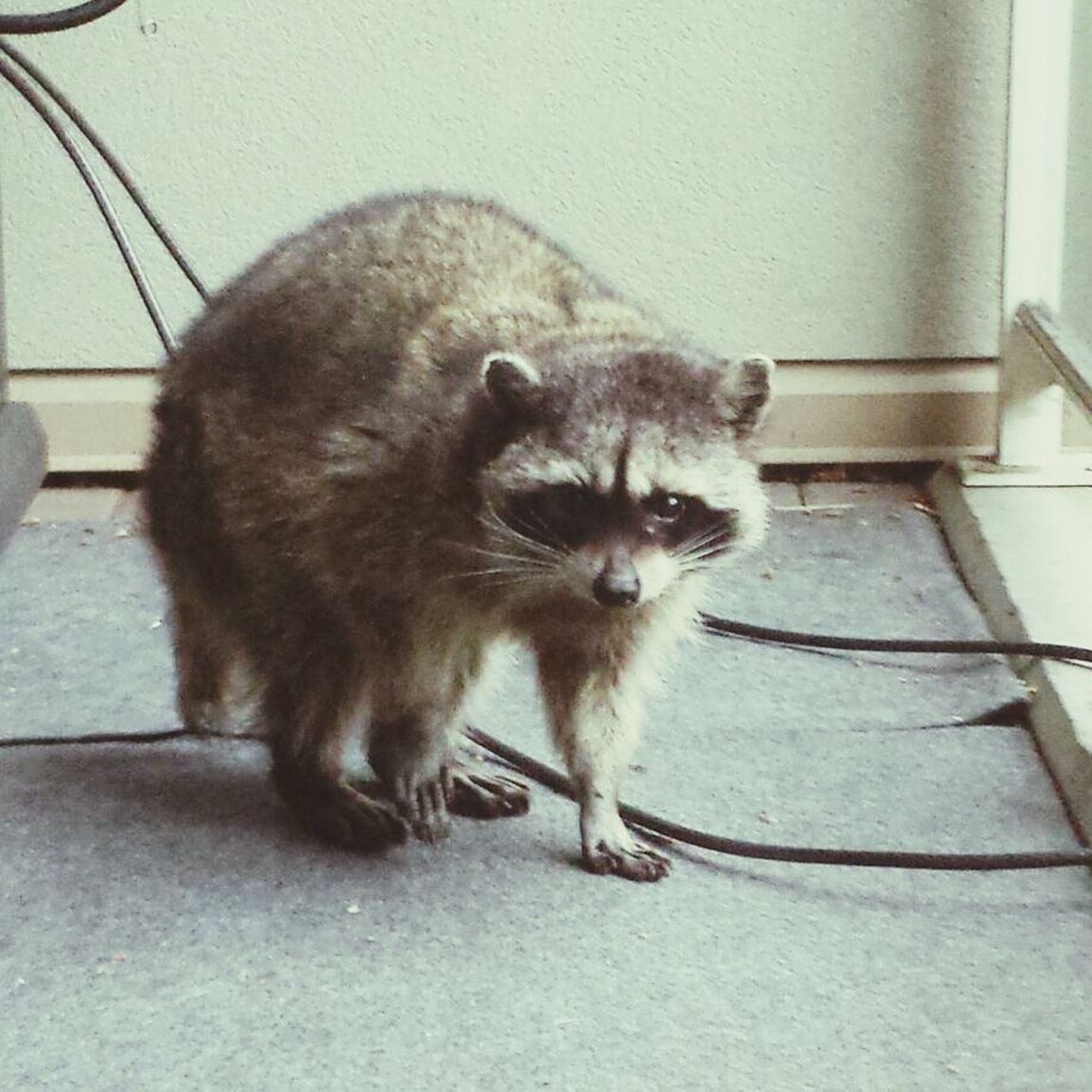 this Raccoon was sleeping on our patio this afternoon Nature_collection Unwantedguest Cute