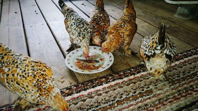 Pet Chickens Chicken. Chickens >.< My Pet Chickens Pet Photography  Hen