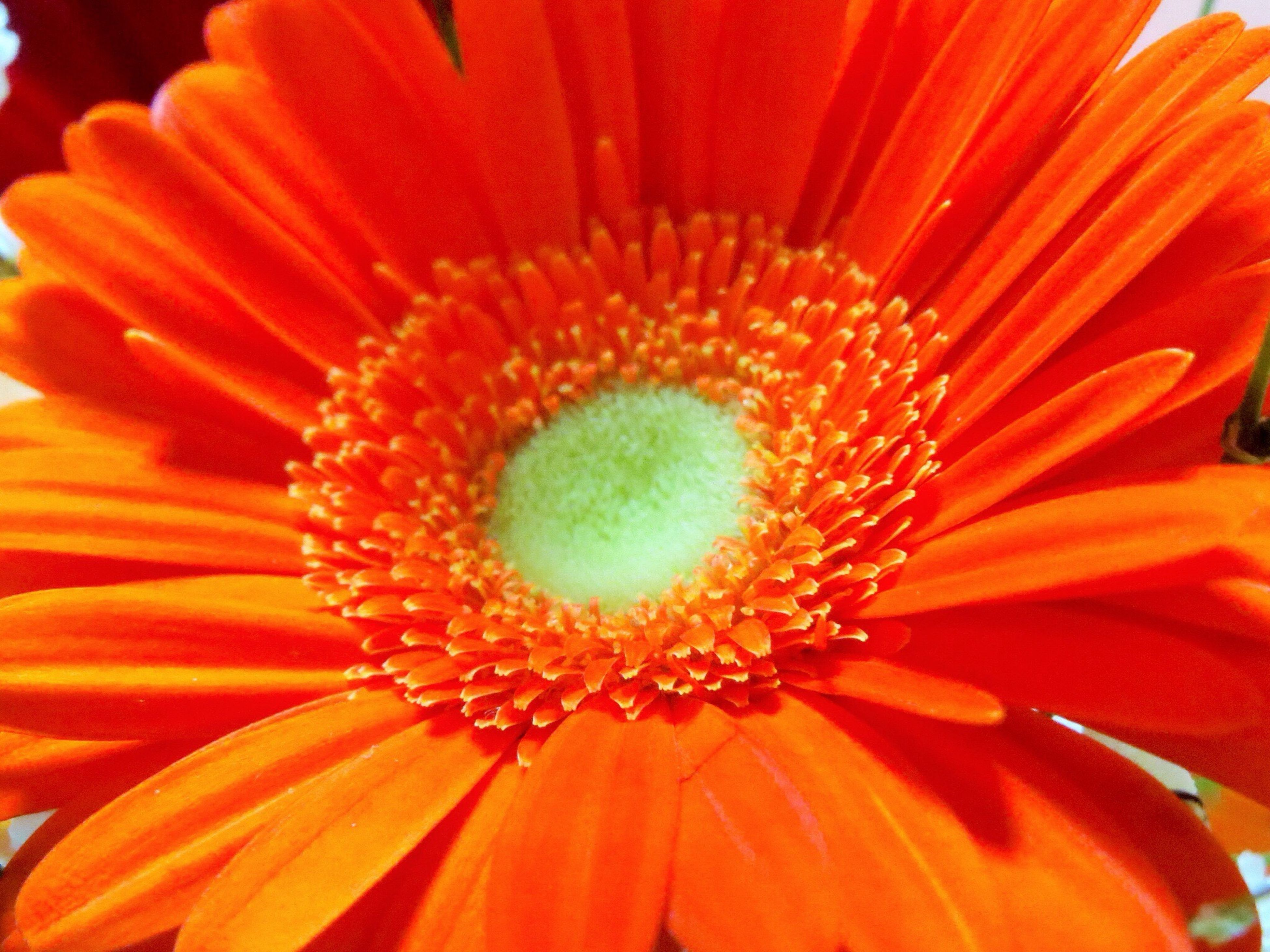 flower, petal, flower head, freshness, fragility, beauty in nature, pollen, single flower, close-up, orange color, growth, nature, blooming, full frame, red, stamen, backgrounds, gerbera daisy, in bloom, no people