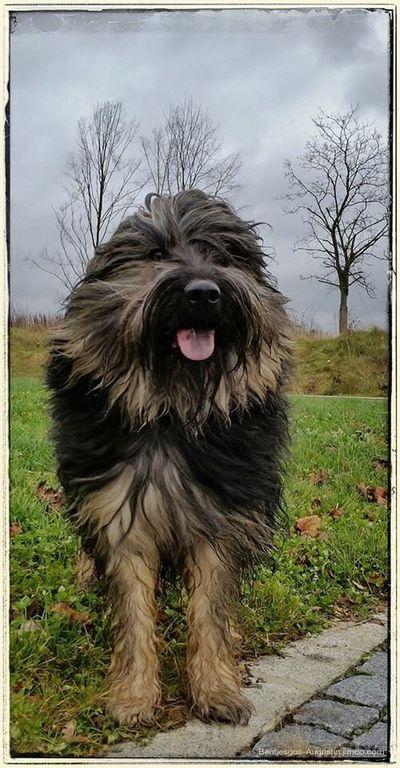 Today it is very windy... Bentjesgosaugustin Gos D'atura Ilovemydog Mydog I Love My Dog Dog Walking Dog