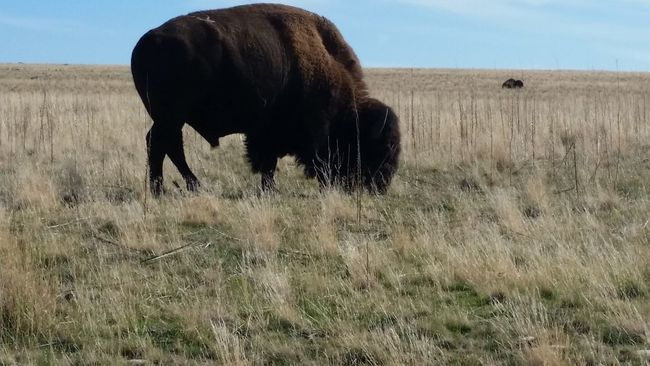 Wildlife Bison Utah Wildlife Antelope Island State Park