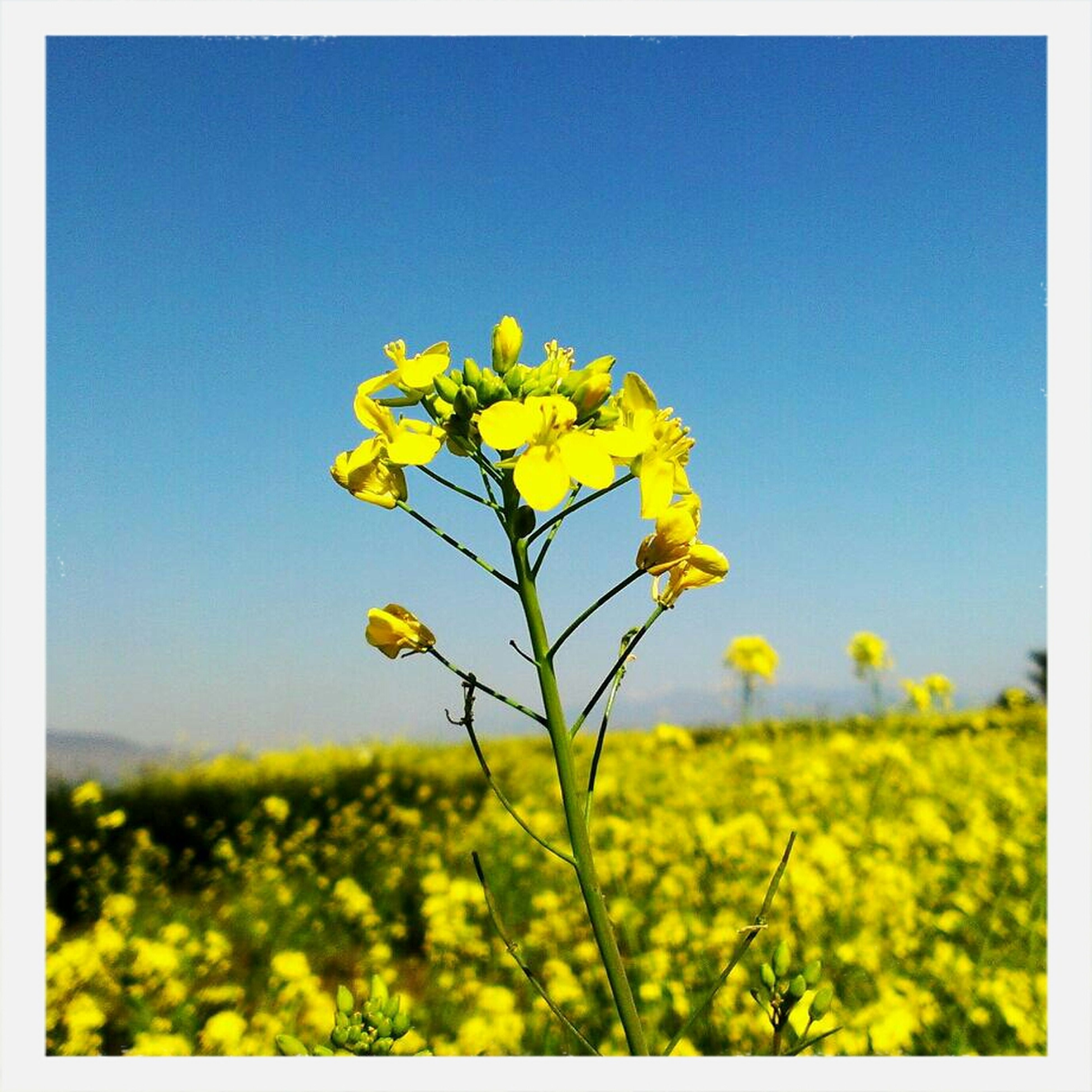 flower, yellow, growth, field, freshness, beauty in nature, clear sky, fragility, transfer print, nature, blue, plant, blooming, stem, sky, wildflower, auto post production filter, rural scene, copy space, tranquility