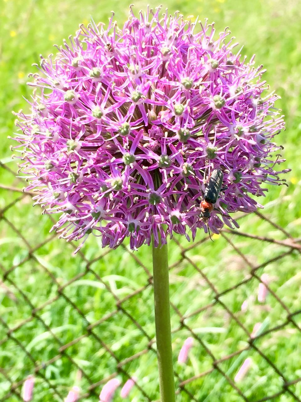 Close-Up Of Bug Perching On Allium In Field