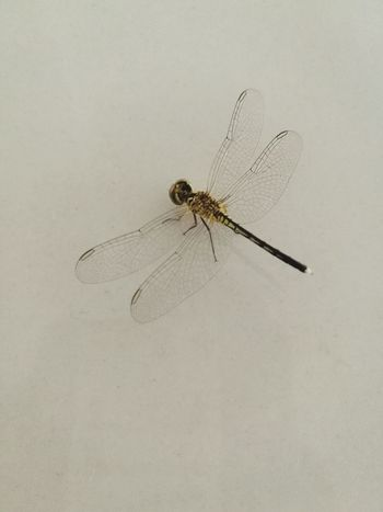 Insect Animal Themes Animals In The Wild Animal Wildlife One Animal Mosquito No People