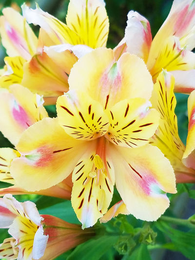 2017 Alstroemeria Beauty In Nature Blooming Blossom Close-up Day Flower Flower Head Fragility Freshness Growth Japan Nature Outdoors Petal Plant Springtime Tokyo Yellow アルストロメリア