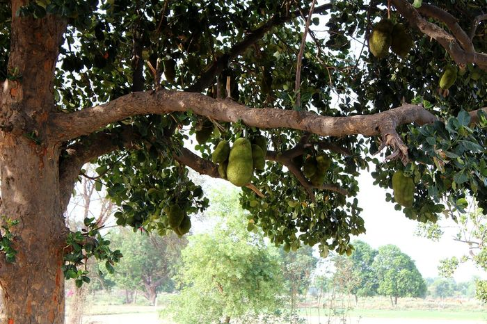 Mix Yourself A Good Time Tree Outdoors Low Angle View Nature Tree Trunk Beauty In Nature The Week On EyeEm Jackfruits Rural Scenes