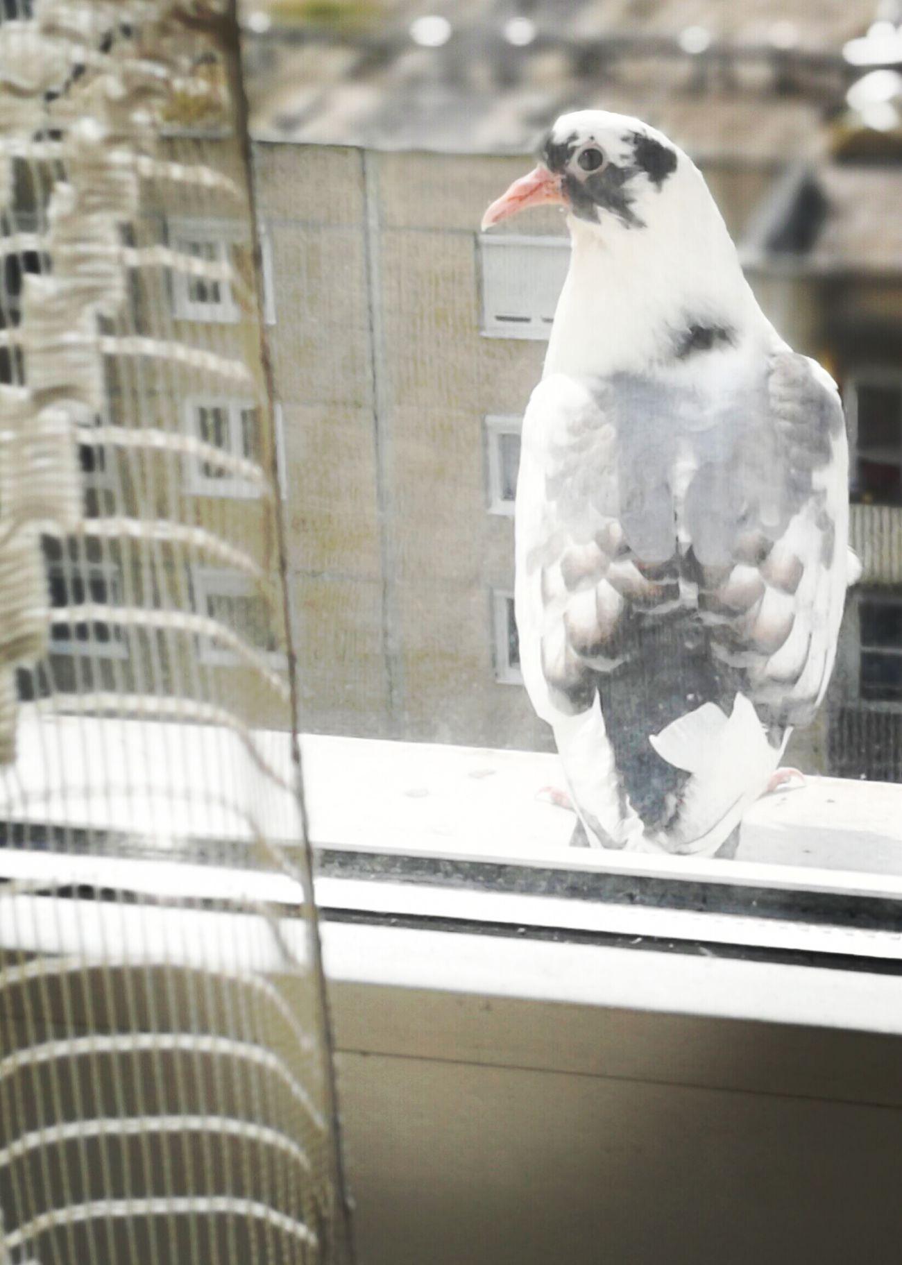 EyeEm Best Shots Pigeon Pigeon Pose Pigeon Watching Pigeonslife Feathered Beauty Animal Themes Feather  Birds Of EyeEm  Window View City Bird EyeEm Gallery