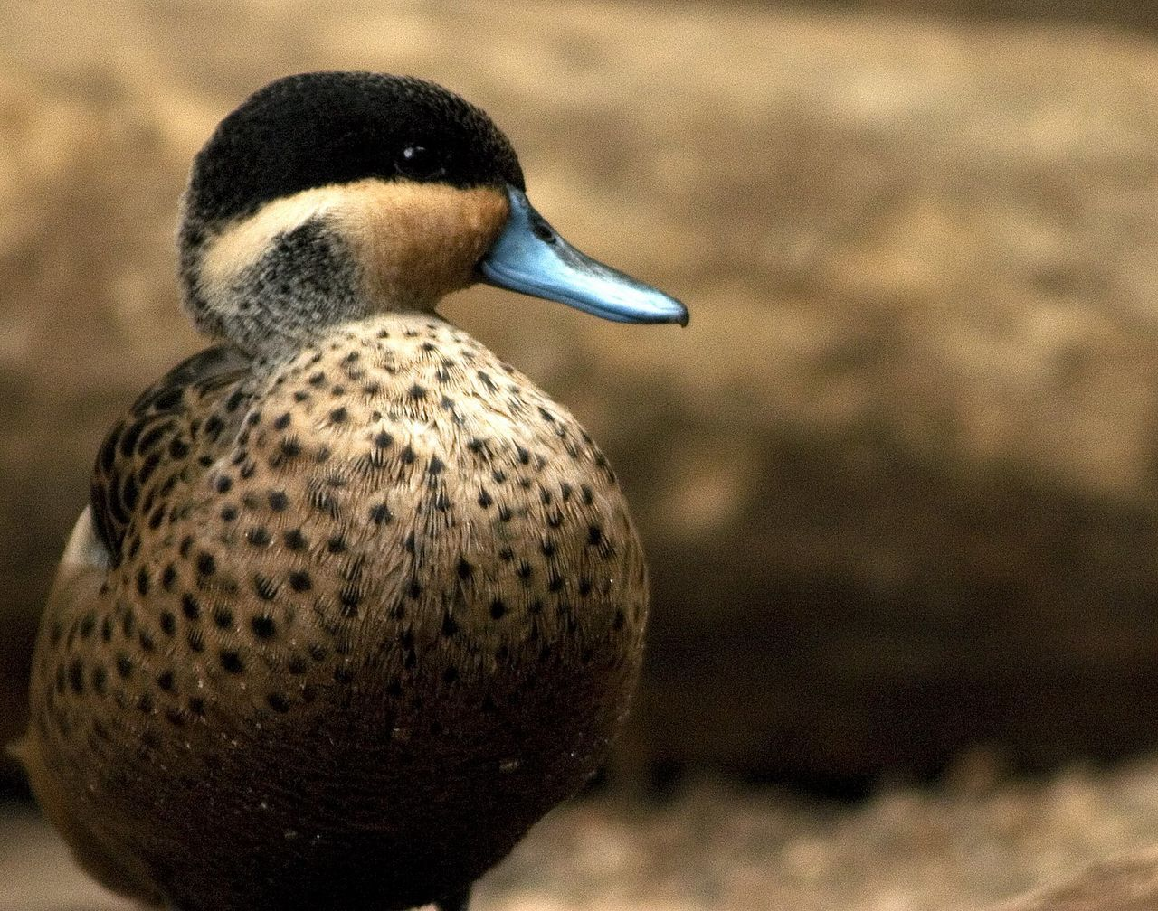 animals in the wild, one animal, animal themes, bird, focus on foreground, animal wildlife, duck, day, no people, close-up, outdoors, beak, nature