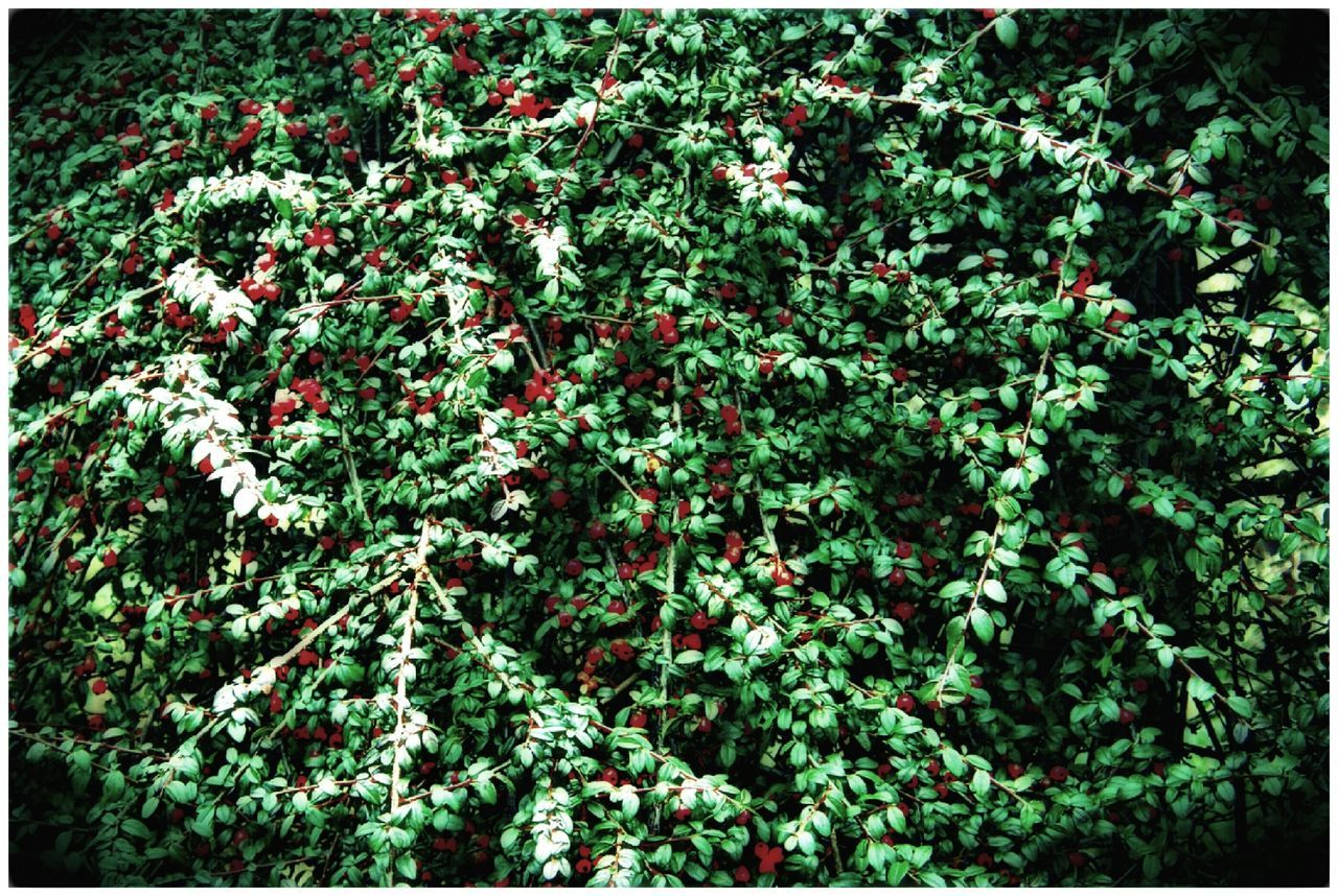 Plants 🌱 Sheets🍃 Berrys Freshness Beauty In Nature Outdoor Photography