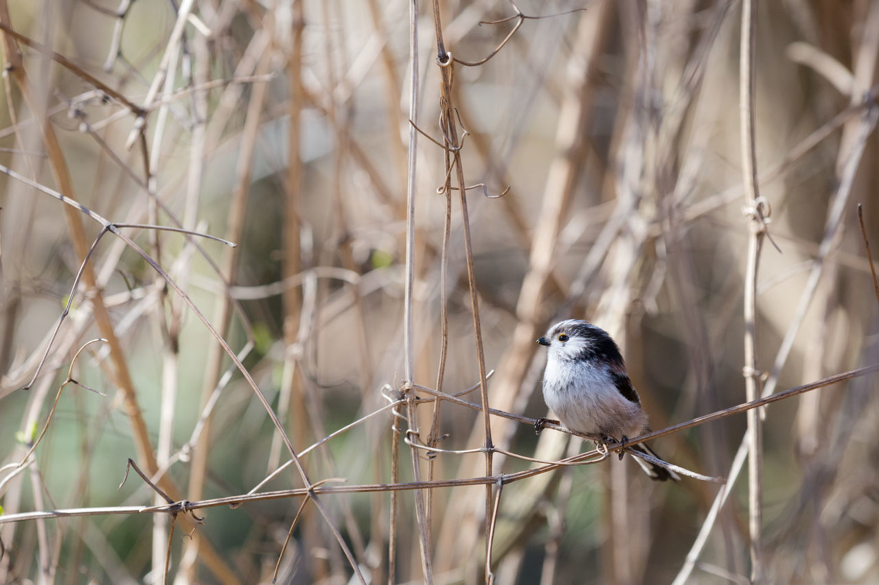 Long-Tailed Tit Perching On Twig