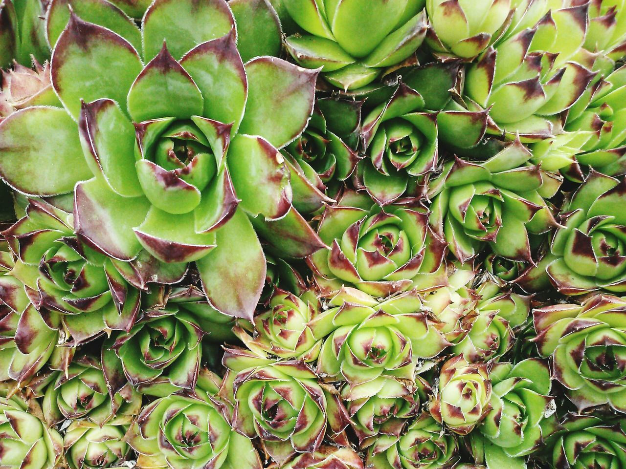 Full Frame Shot Of Succulent Plants