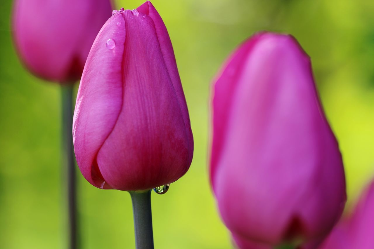 Flower Petal Nature Freshness Purple Fragility Beauty In Nature Tulip Flower Head Plant Growth Close-up Blossom Springtime No People Outdoors Scented Pink Color Day Tulips 3 In A Row Just On Is Important Warerdrop Waterdrop On Flower Premium Collection