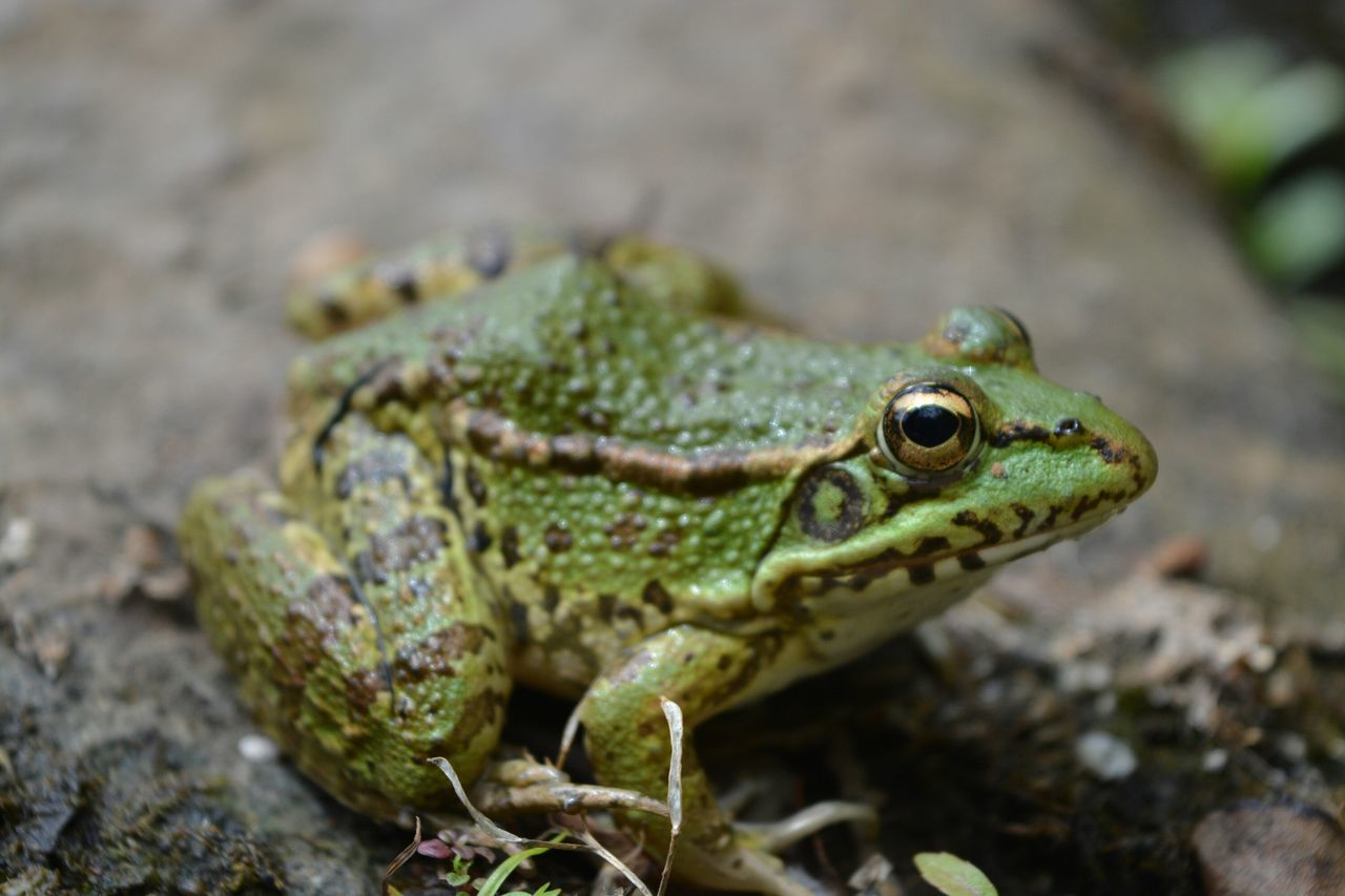 Beautiful stock photos of frog, Alertness, Amphibian, Animal Eye, Animal Themes