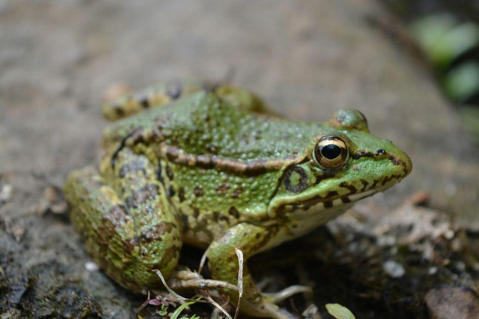 Beautiful stock photos of frog, Alertness, Amphibian, Animal Eye, Animal Themes