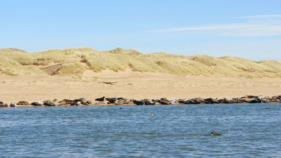 Seal Sealwatching Nature Photography No People Donmouth Scotland Nature Reserve Sunny Day Wildlife Wild Animals