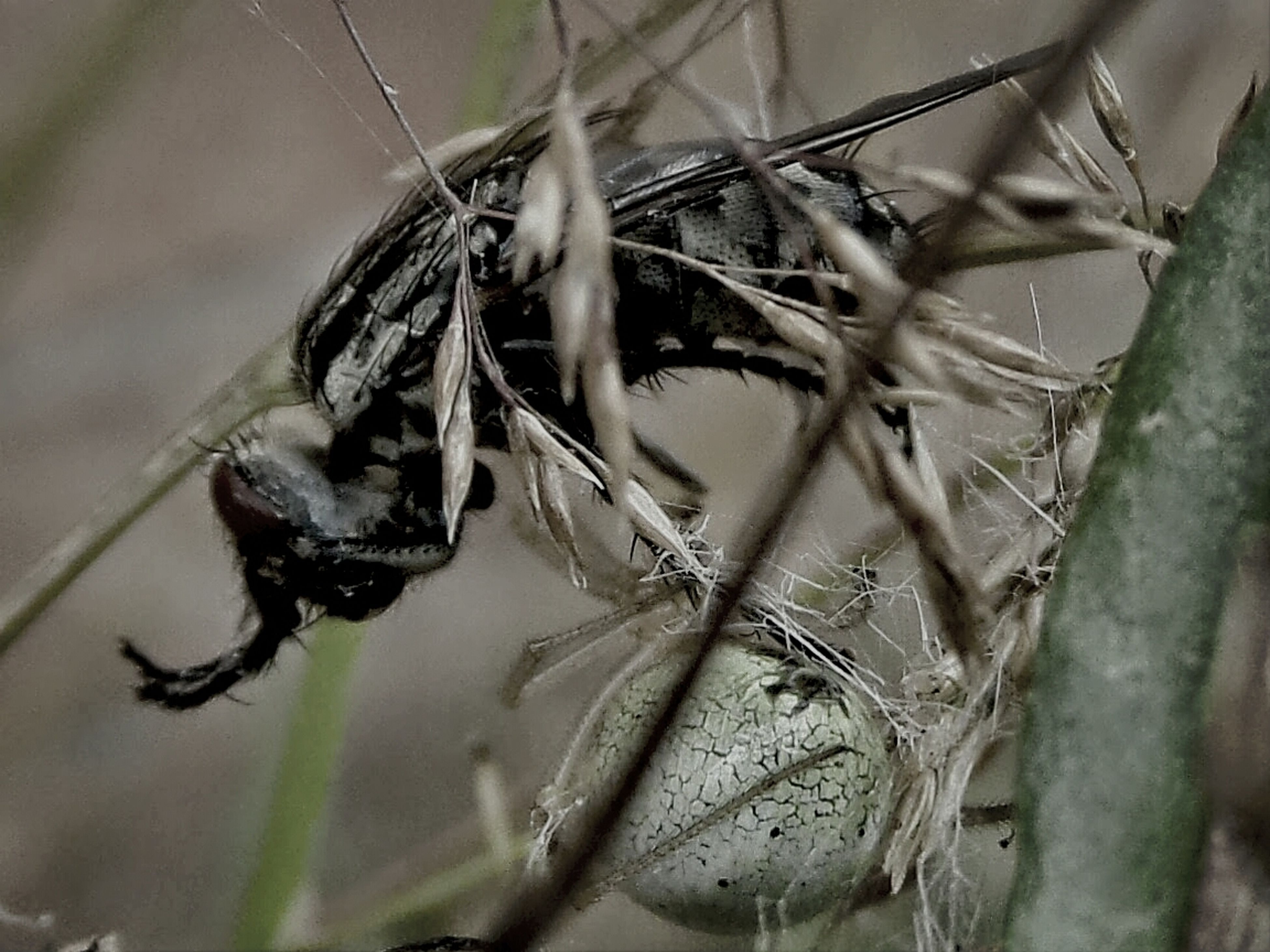 insect, animals in the wild, animal themes, one animal, close-up, wildlife, focus on foreground, selective focus, nature, plant, spider, twig, dry, day, outdoors, no people, dragonfly, spider web, dead plant, stem