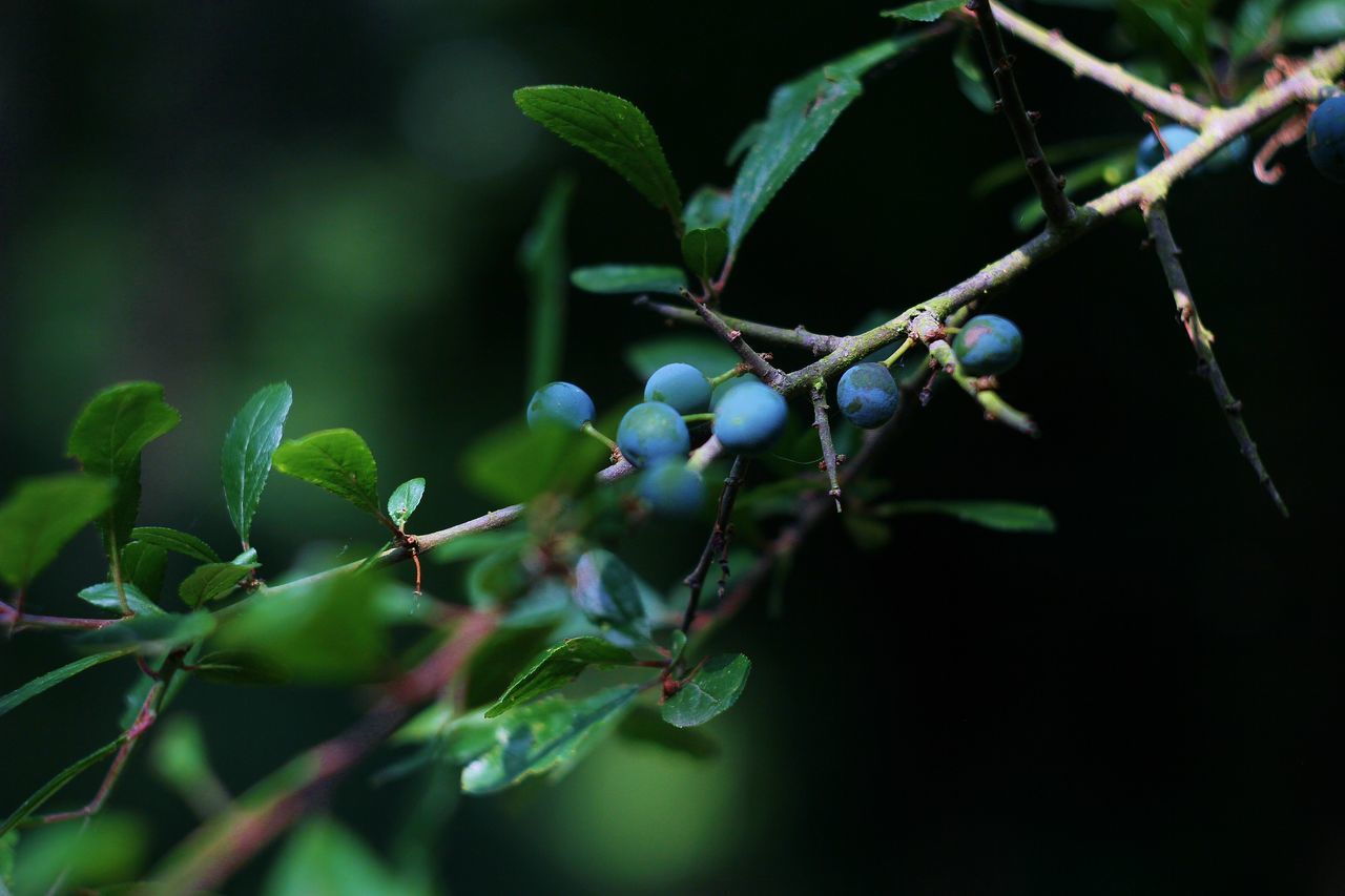 Sloes Nature_collection Tree