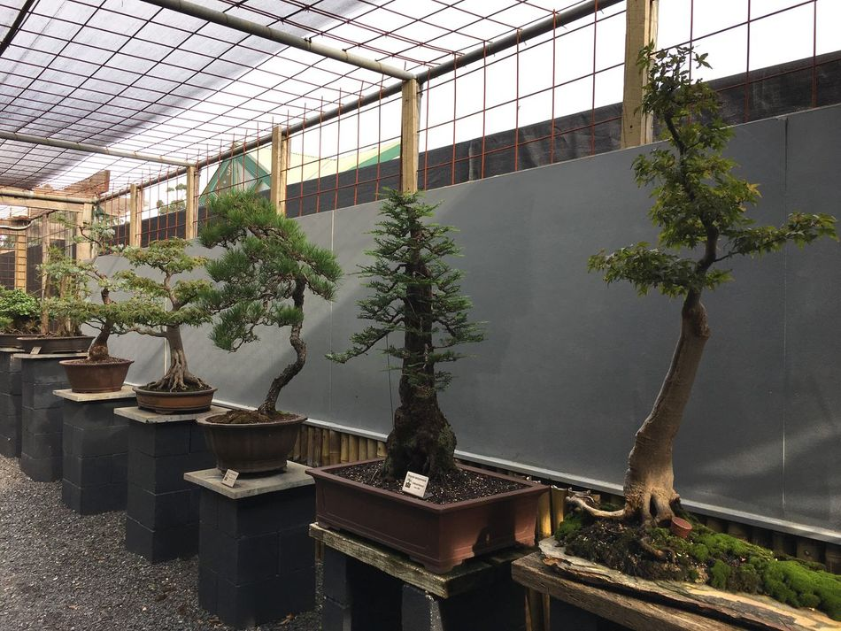 Bonsai Bonsai Tree Tree Growth Plant Indoors  Architecture Greenhouse Tree No People Day Nature Built Structure Sky Nature Taking Pictures EyeEm Outdoors Growth Garden Outdoor Photography Display Tree Art Art ArtWork