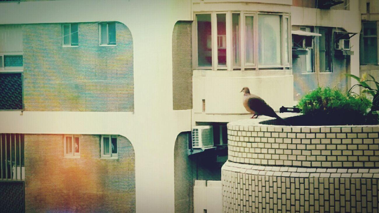 Pigeon Turtledove Relaxing Taking Photos Sunny Day 一個人也能好好的,睥睨一切,準備飛翔。