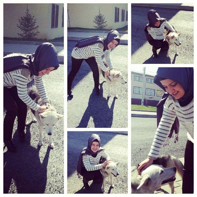 Husky Mu ş Alparslan University mus instalove instagood smile happy sweetdog siberiandog sibiryakurdu
