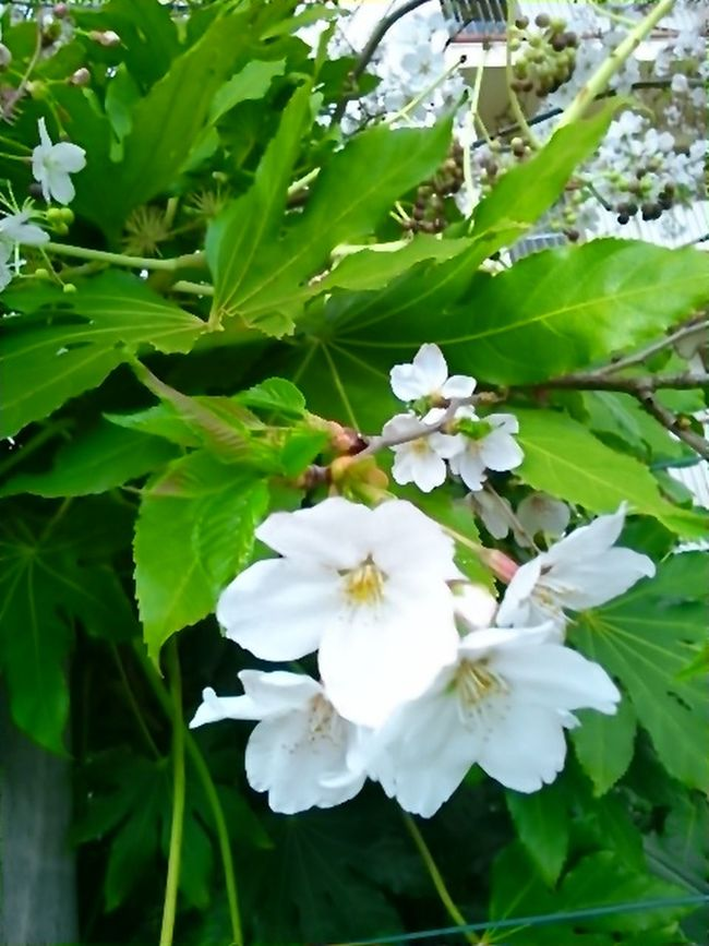 桜です。 Beautiful Day Cherry Blossom Leaf Cherry Blossoms Cherry Tree Beautiful View Cherry Tree Flower Japanese Spring Blossom