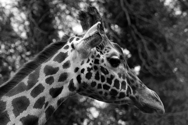 Animal Head  Animal Themes Animals In The Wild Dudley Zoo Endangered Species Giraffe Giraffe Herbivorous Mammal Safari Animals Zoology Animal Photography Animal Head  Zoophotography Dudley Zoo Photography  Zoo Animals  Zoo Animal Zooanimals Giraffes Giraffe♥ Giraffe ♡ Giraffes!