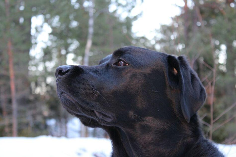 Hund 강아지 Dogs Blacklab Labrador Labrador Retriever Black Labrador Animal 개 Pets Dog Portrait Forest Domestic Animals